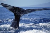 Flip Nicklin - Humpback Whale whale tail, Maui, Hawaii
