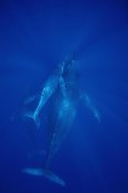 Flip Nicklin - Humpback Whale cow, calf and male escort, Maui, Hawaii
