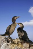 Tui De Roy - Flightless Cormorant pair on seaweed nest,  Galapagos Islands, Ecuador