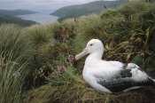 Tui De Roy - Southern Royal Albatross adult nesting, Campbell Island, New Zealand