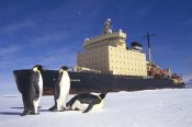 Tui De Roy - Emperor Penguin trio and Russian icebreaker parked in fast ice, Antarctica