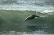 Tui De Roy - Galapagos Sea Lion body surfing breaking waves, Galapagos Islands, Ecuador
