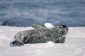 Tui De Roy - Weddell Seal pup, Half Moon Island, South Shetland Islands, Antarctica