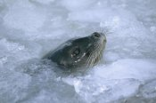 Tui De Roy - Ringed Seal surfacing in brash ice, Svalbard, Norwegian Arctic