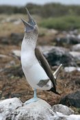 Tui De Roy - Blue-footed Booby courtship dance, Galapagos Islands, Ecuador