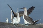 Tui De Roy - Blue-footed Booby sky pointing during courtship, Galapagos Islands, Ecuador