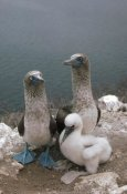 Tui De Roy - Blue-footed Booby parents with chick, Galapagos Islands, Ecuador