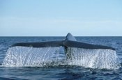Mark Jones - Blue Whale tail, Sea of Cortez, Baja California, Mexico