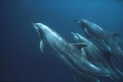 Mark Jones - Bottlenose Dolphins, Roca Redonda, Galapagos Islands, Ecuador