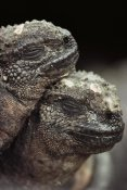 Mark Jones - Marine Iguana pair resting, Hood Island, Galapagos Islands, Ecuador