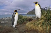 Tui De Roy - King Penguin pair in tussock grass, Gold Harbor, South Georgia Island