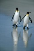 Tui De Roy - King Penguin pair on landing beach, Volunteer Point, Falkland Islands