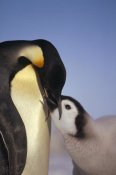 Tui De Roy - Emperor Penguin parent feeding chick, Riiser-Larsen Ice Shelf, Antarctica