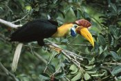 Mark Jones - Sulawesi Red-knobbed Hornbill male in fruiting Fig tree, Sulawesi, Indonesia