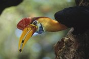 Tui De Roy - Sulawesi Red-knobbed Hornbill male delivering figs to female, Sulawesi, Indonesia