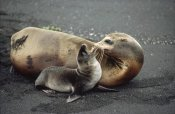 Tui De Roy - Galapagos Sea Lion mother and newborn pup, Galapagos Islands, Ecuador
