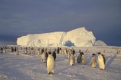 Tui De Roy - Emperor Penguin large rookery on sea ice,  Weddell Sea, Antarctica