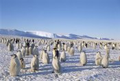 Tui De Roy - Emperor Penguin rookery, Princess Martha Coast, Weddell Sea, Antarctica