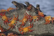 Tui De Roy - Sally Lightfoot Crabs and Marine Iguanas, Galapagos Islands, Ecuador