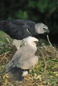 Tui De Roy - Harpy Eagle female and chick, Amazonian Peru