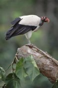 Tui De Roy - King Vulture, Tambopata, Peruvian Amazon, Peru