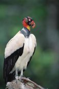 Tui De Roy - King Vulture in full breeding colors, Tambopata, Peruvian Amazon, Peru