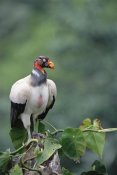 Tui De Roy - King Vulture, Tambopata River, Peruvian Amazon, Peru