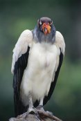 Tui De Roy - King Vulture portrait,Tambopata River, Peruvian Amazon