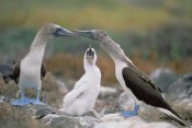 Tui De Roy - Blue-footed Booby family, Punta Suarez, Galapagos Islands, Ecuador