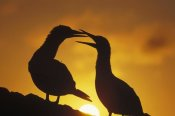 Tui De Roy - Masked Booby couple courting at sunset, Galapagos Islands, Ecuador