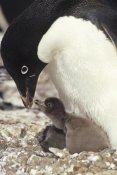 Tui De Roy - Adelie Penguin chick begging parent for food, Peterson Island, Antarctica