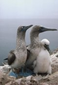 Tui De Roy - Blue-footed Booby pair with chick, Galapagos Islands, Ecuador