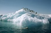 Tui De Roy - Leopard Seal circles Adelie Penguins on ice floe, Hope Bay, Antarctica