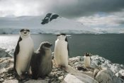 Tui De Roy - Chinstrap Penguin parents with chick, Paradise Bay, Antarctica