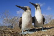 Tui De Roy - Blue-footed Booby courting couple, Galapagos Islands, Ecuador