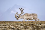 Tui De Roy - Svalbard Reindeer bull in velvet and summer molt, Spitsbergen, Norway