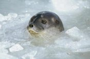 Tui De Roy - Ringed Seal surfacing in brash ice, Svalbard Archipelago, Norwegian Arctic