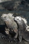 Tui De Roy - Marine Iguana male and female, Galapagos Islands, Ecuador
