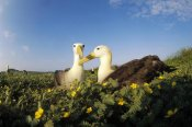 Tui De Roy - Waved Albatross pair bonding, Galapagos Islands, Ecuador
