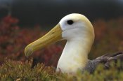Tui De Roy - Waved Albatross portrait, Galapagos Islands, Ecuador