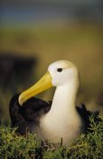 Tui De Roy - Waved Albatross, Galapagos Islands, Ecuador