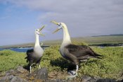 Tui De Roy - Waved Albatross pair courting, Galapagos Islands, Ecuador