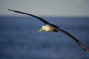 Tui De Roy - Waved Albatross flying, Galapagos Islands, Ecuador