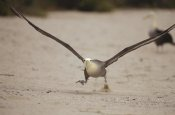 Tui De Roy - Waved Albatross using beach as runway for takeoff, Galapagos Islands, Ecuador
