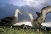 Tui De Roy - Waved Albatross courtship dance, Galapagos Islands, Ecuador