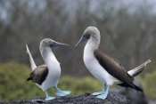 Tui De Roy - Blue-footed Booby pair in courtship dance, Galapagos Islands, Ecuador