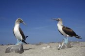 Tui De Roy - Blue-footed Booby pair, Galapagos Islands, Ecuador