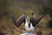 Tui De Roy - Blue-footed Booby sky pointing in courtship dance, Galapagos Islands