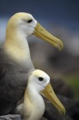 Tui De Roy - Waved Albatrosses mating, Galapagos Islands, Ecuador