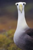 Tui De Roy - Waved Albatross adult in nesting colony, Galapagos Islands, Ecuador